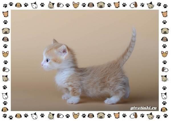 Кошка-манчкин-Описание-особенности-уход-фото-и-цена-породы-7