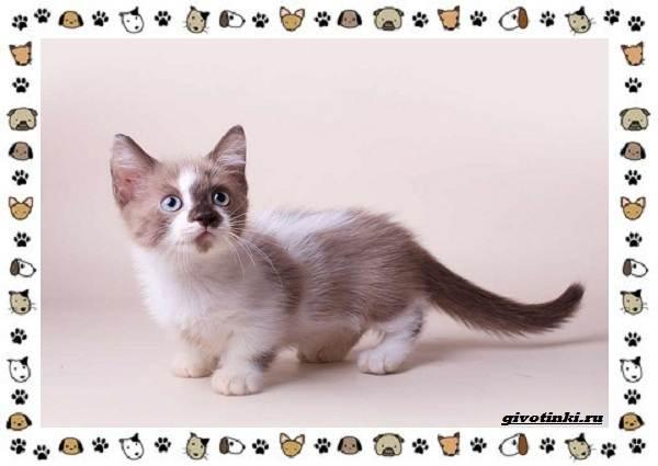 Кошка-манчкин-Описание-особенности-уход-фото-и-цена-породы-8