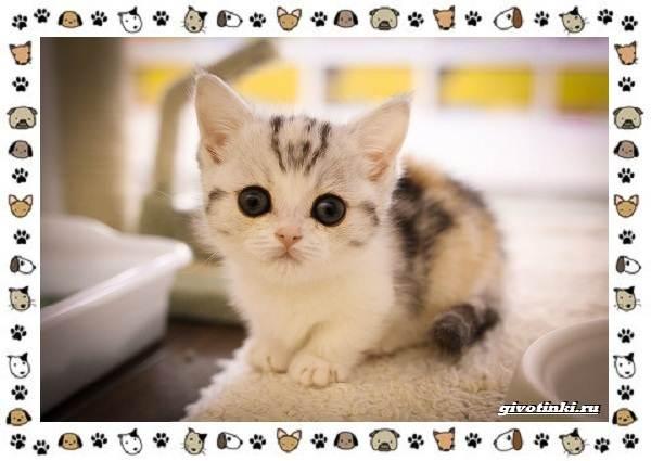 Кошка-манчкин-Описание-особенности-уход-фото-и-цена-породы-9