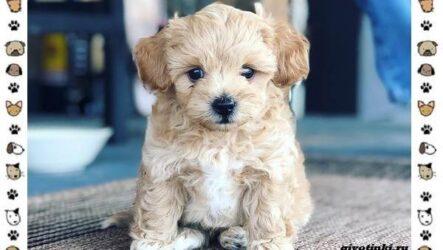 Мальтипу порода собак. Описание, особенности, характер, уход и цена