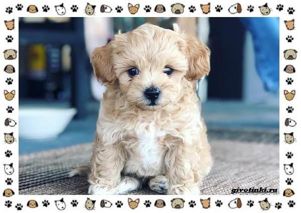 Мальтипу-порода-собак-Описание-особенности-характер-уход-и-цена-1