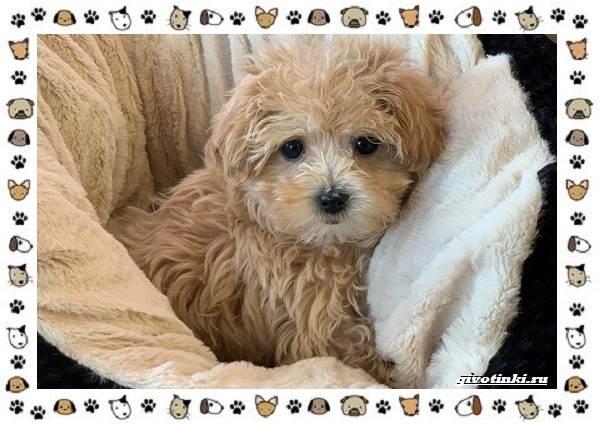 Мальтипу-порода-собак-Описание-особенности-характер-уход-и-цена-10