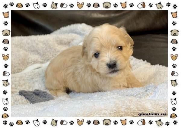 Мальтипу-порода-собак-Описание-особенности-характер-уход-и-цена-11