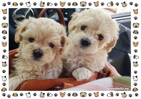Мальтипу-порода-собак-Описание-особенности-характер-уход-и-цена-12