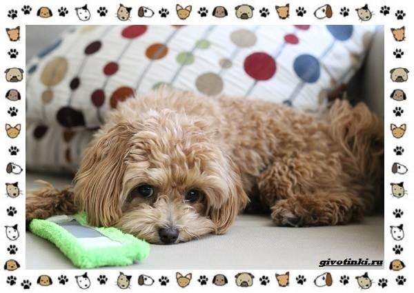 Мальтипу-порода-собак-Описание-особенности-характер-уход-и-цена-2