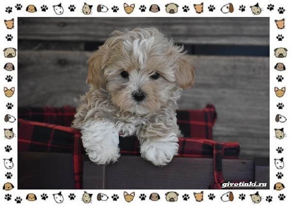 Мальтипу-порода-собак-Описание-особенности-характер-уход-и-цена-4