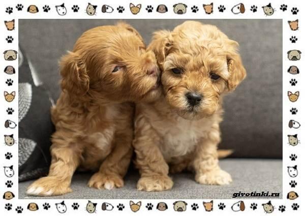 Мальтипу-порода-собак-Описание-особенности-характер-уход-и-цена-5