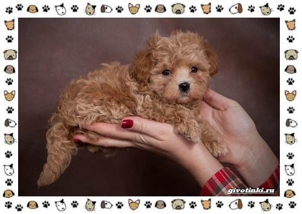 Мальтипу-порода-собак-Описание-особенности-характер-уход-и-цена-6