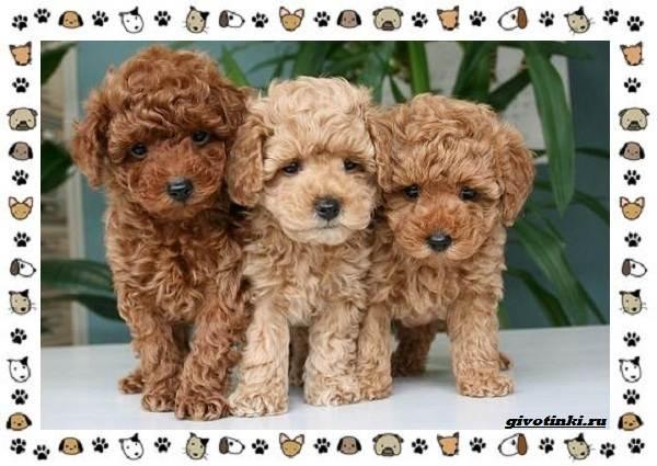 Мальтипу-порода-собак-Описание-особенности-характер-уход-и-цена-7