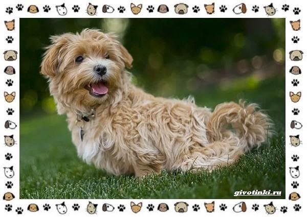 Мальтипу-порода-собак-Описание-особенности-характер-уход-и-цена-8