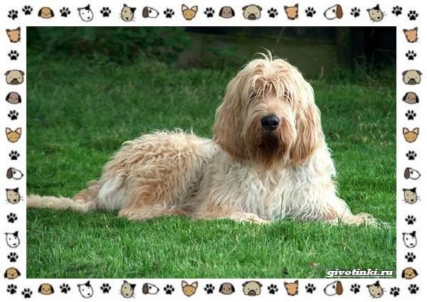 Оттерхаунд-порода-собак-Описание-особенности-характер-уход-и-цена-1