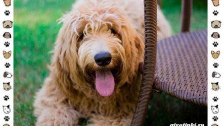 Оттерхаунд порода собак. Описание, особенности, характер, уход и цена