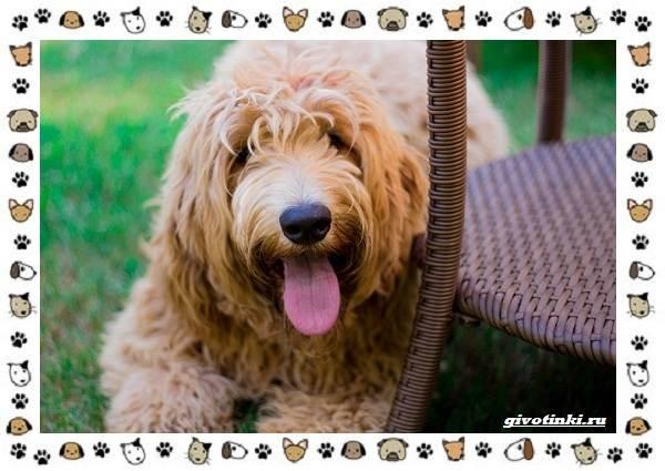 Оттерхаунд-порода-собак-Описание-особенности-характер-уход-и-цена-4