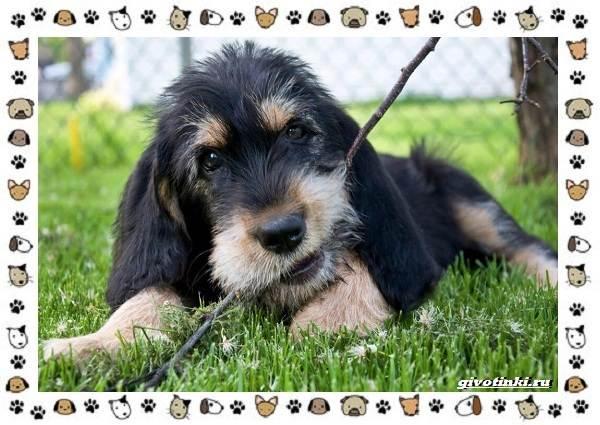Оттерхаунд-порода-собак-Описание-особенности-характер-уход-и-цена-5