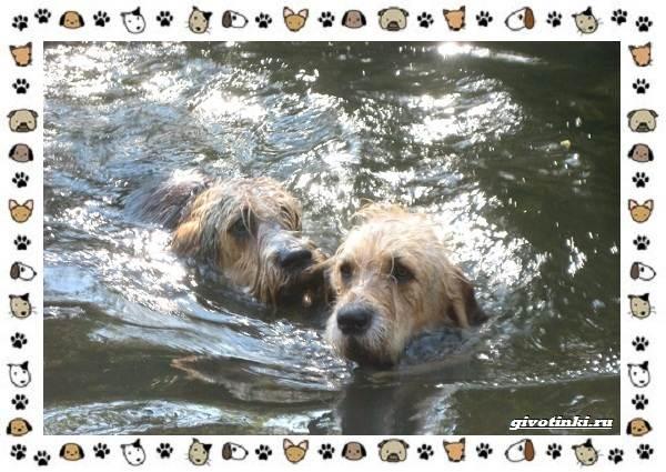 Оттерхаунд-порода-собак-Описание-особенности-характер-уход-и-цена-6
