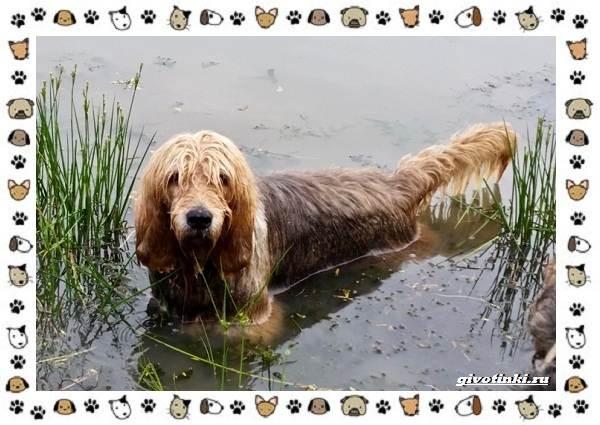 Оттерхаунд-порода-собак-Описание-особенности-характер-уход-и-цена-7