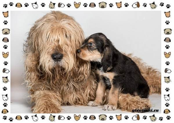 Оттерхаунд-порода-собак-Описание-особенности-характер-уход-и-цена-8