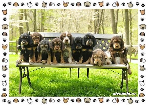 Оттерхаунд-порода-собак-Описание-особенности-характер-уход-и-цена-9