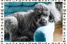 Пудель порода собак. Описание, особенности, виды, уход и цена