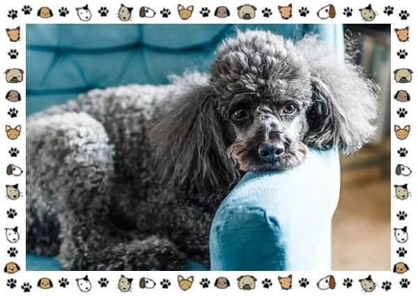 Пудель-порода-собак-Описание-особенности-виды-уход-и-цена-1