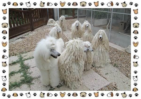 Пудель-порода-собак-Описание-особенности-виды-уход-и-цена-10