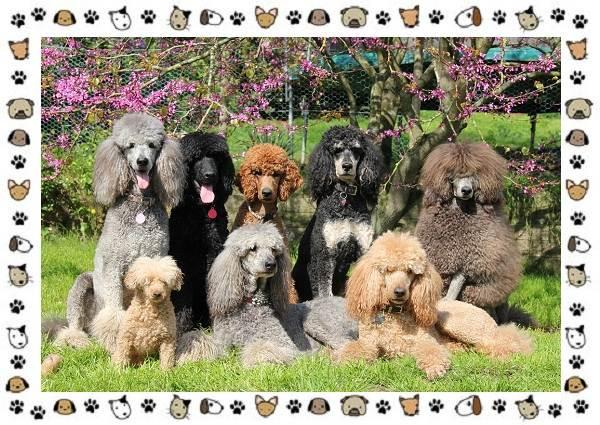 Пудель-порода-собак-Описание-особенности-виды-уход-и-цена-11