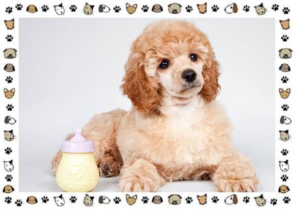 Пудель-порода-собак-Описание-особенности-виды-уход-и-цена-12