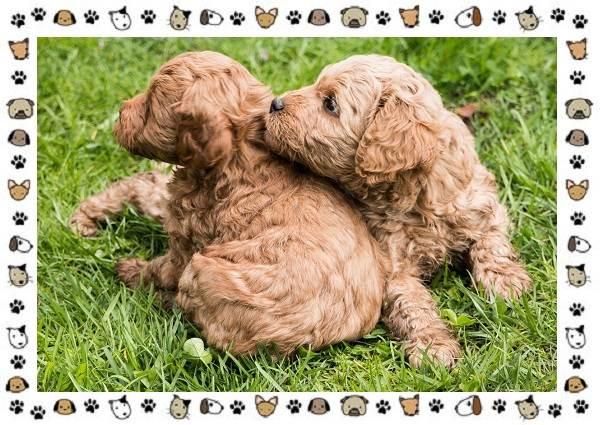 Пудель-порода-собак-Описание-особенности-виды-уход-и-цена-13