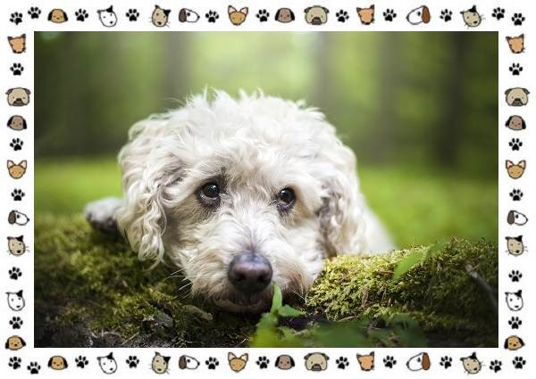Пудель-порода-собак-Описание-особенности-виды-уход-и-цена-14