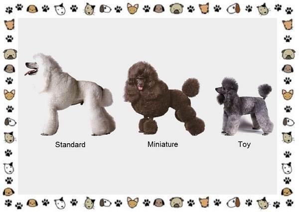 Пудель-порода-собак-Описание-особенности-виды-уход-и-цена-2