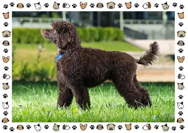 Пудель-порода-собак-Описание-особенности-виды-уход-и-цена-4