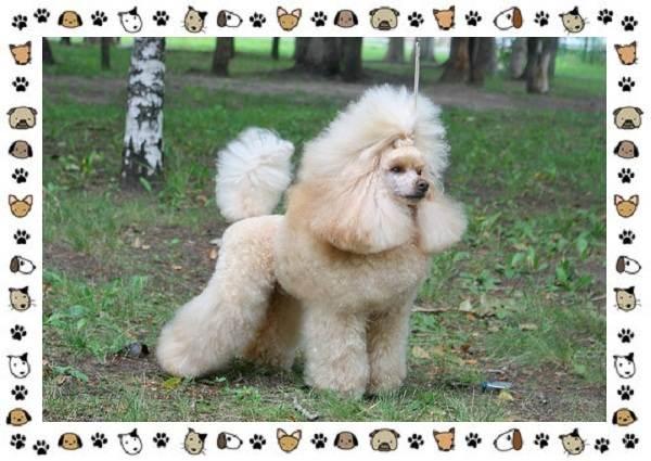 Пудель-порода-собак-Описание-особенности-виды-уход-и-цена-5