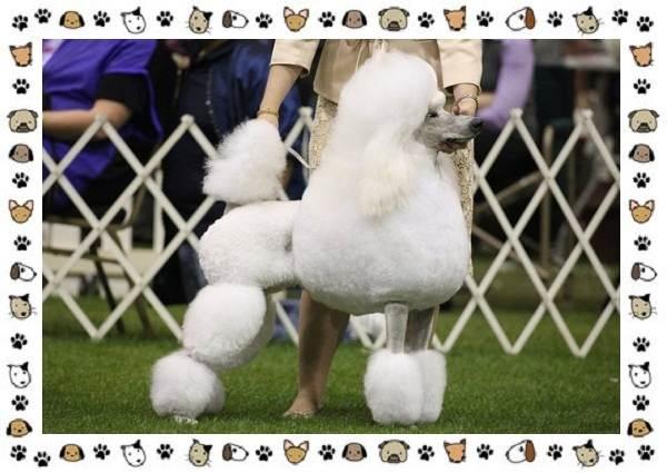 Пудель-порода-собак-Описание-особенности-виды-уход-и-цена-6