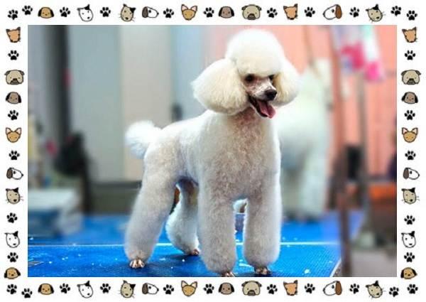 Пудель-порода-собак-Описание-особенности-виды-уход-и-цена-7