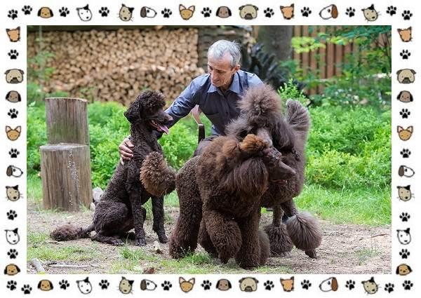 Пудель-порода-собак-Описание-особенности-виды-уход-и-цена-8