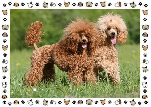 Пудель-порода-собак-Описание-особенности-виды-уход-и-цена-9