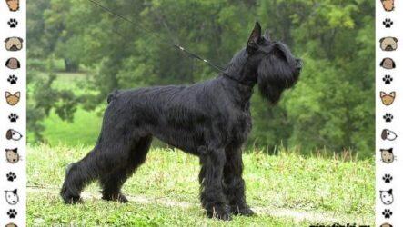 Ризеншнауцер порода собак. Описание, особенности, фото, уход и цена