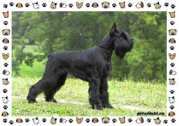 Ризеншнауцер-порода-собак-Описание-особенности-фото-уход-и-цена-1