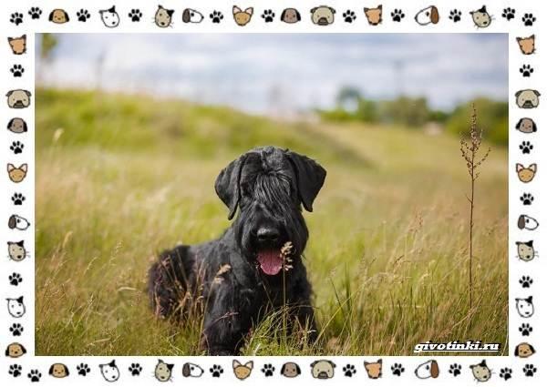 Ризеншнауцер-порода-собак-Описание-особенности-фото-уход-и-цена-2
