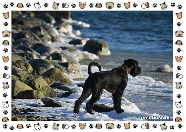 Ризеншнауцер-порода-собак-Описание-особенности-фото-уход-и-цена-4