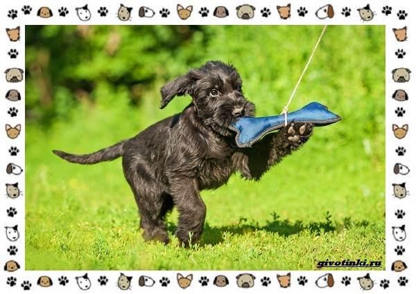 Ризеншнауцер-порода-собак-Описание-особенности-фото-уход-и-цена-5