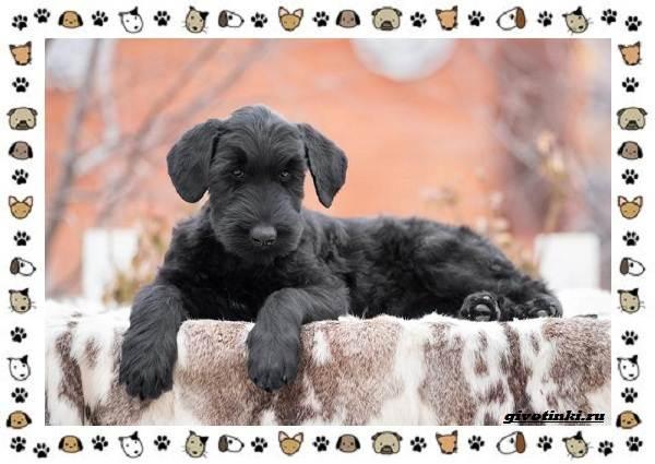 Ризеншнауцер-порода-собак-Описание-особенности-фото-уход-и-цена-6