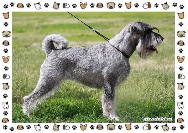 Ризеншнауцер-порода-собак-Описание-особенности-фото-уход-и-цена-7