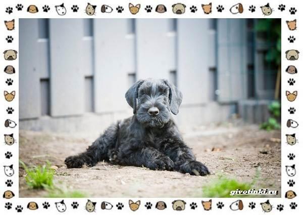 Ризеншнауцер-порода-собак-Описание-особенности-фото-уход-и-цена-8