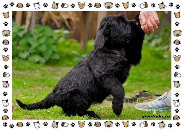 Ризеншнауцер-порода-собак-Описание-особенности-фото-уход-и-цена-9