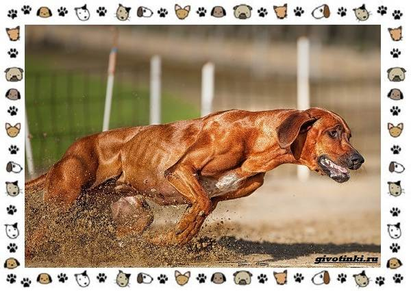 Родезийский-риджбек-порода-собак-Описание-особенности-уход-и-цена-1
