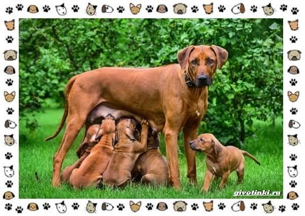 Родезийский-риджбек-порода-собак-Описание-особенности-уход-и-цена-10