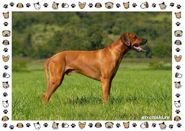 Родезийский-риджбек-порода-собак-Описание-особенности-уход-и-цена-2
