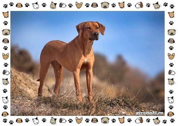 Родезийский-риджбек-порода-собак-Описание-особенности-уход-и-цена-3