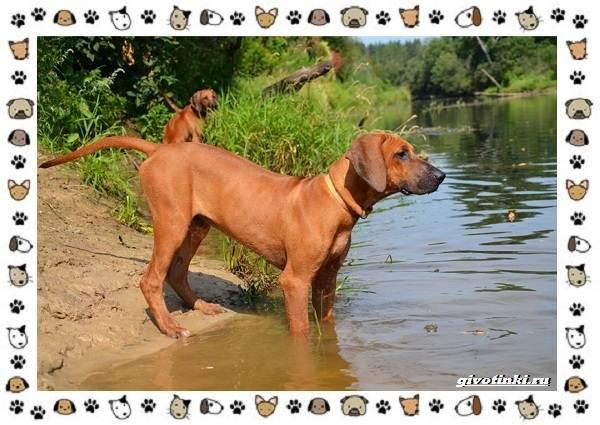 Родезийский-риджбек-порода-собак-Описание-особенности-уход-и-цена-4
